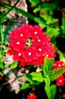 ripe geranium on the garden