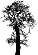 Silhouette old linden tree winter, vector illustration