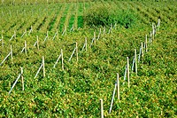 Rows of vines in Trentino, Italy