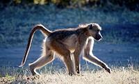 Baboon, papio ursinus, Chobe National Park, Botswama, Africa