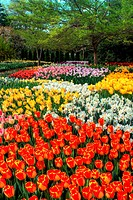 A colorful Botanical Tulip Garden in spring.