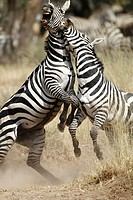 Males of Grévy's zebra fighting during the rut. Equus zebra