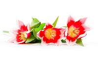 three pink tulips isolated on a white background