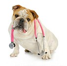 veterinary care _ english bulldog with stethoscope around neck looking at viewer