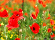 picture of green field with beautiful red poppies