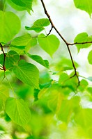 close up shot of young green leaves in spring