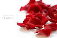 rose petals over white, perfect valentine´s day background
