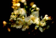 Spring dreamy bloom of a wild apple tree with a blurred black background
