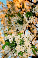 cherry or apple blossom flowers. white spring bloom on tree