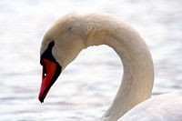 swan´s curved head