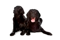Flat Coat Retriever in front of a white background