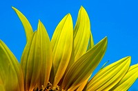 Details of a sunflower blossom against a blue summer sky