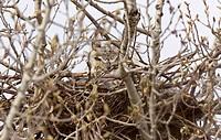 Great Horned Owl in Nest Saskatchewan Canada