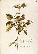 Herbal, 18th-19th century. Iconographia Taurinensis. Volume XI, Plate 23 by Francesco Peyrolery: Styracaceae, Fragrant Snowbell (Styrax obassia). Deci...