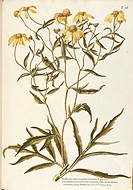 Herbal, 18th-19th century. Iconographia Taurinensis. Volume XXIV, Plate 28 by Giovanni Antonio Bottione: Asteraceae or Compositae, Cutleaf Coneflower ...