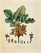 Herbal, 19th century. Henri Louis Duhamel du Monceau (1700-1782), Traite des Arbres et des Arbustes, 1835 edition. Plate by Francois Turpin (1775-1840...