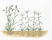 Botany - Poaceae - Red Grass (Themeda triandra) and Bermuda Grass (Cynodon dactylon), illustration