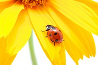 The ladybug sits on a flower petal