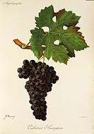 Pierre Viala (1859-1936), Victor Vermorel (1848-1927), Traite General de Viticulture. Ampelographie, 1901-1910. Tome II, plate: Cabernet Sauvignon gra...