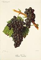 Pierre Viala (1859-1936), Victor Vermorel (1848-1927), Traite General de Viticulture. Ampelographie, 1901-1910. Tome VI, plate: Petit Verdot grape. Il...