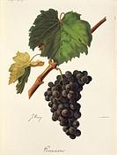 Pierre Viala (1859-1936), Victor Vermorel (1848-1927), Traite General de Viticulture. Ampelographie, 1901-1910. Tome VI, plate: Graciano grape. Illust...