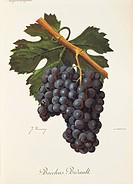 Pierre Viala (1859-1936), Victor Vermorel (1848-1927), Traite General de Viticulture. Ampelographie, 1901-1910. Tome VI, plate: Bacchus Bidault grape....