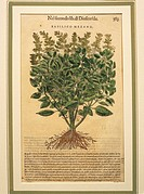 Herbal, 16th century. Pier Andrea Mattioli (1501-1578), Commentary on Dioscorides' work, 1554. Plate: Basil (Ocimum basilicum). Engraving. Venice edit...