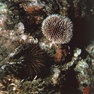 Zoology - Echinoderms - Echinus