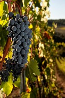 Ripe bunch of Sangiovese grapes in a vineyard in the Chianti Classico region of Tuscany, Italy.