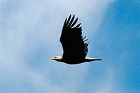 Zoology - Birds - Bald Eagle (Haliaeetus leucocephalus)