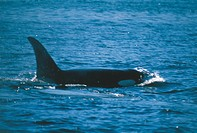 Canada, British Columbia, Orca or Killer whale Orcinus orca in ocean