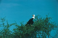 Zoology - Birds - Falconiformes - African Fish Eagle (Haliaeetus vocifer) on tree