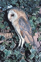 Zoology - Birds - Strigiformes - Barn Owl (Tyto alba) amongst leaves