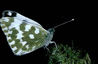 Bath white Butterfly Pontia daplidice on flower