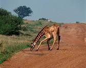 Zoology - Mammals - Artiodactyls - Giraffids - Masai giraffe (Giraffa camelopardalis tippelskirchi). Kenya, Masai Mara Game Reserve
