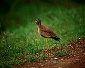 Zoology - Birds - Charadriiformes - Northern lapwing (Vanellus vanellus). Kenya, Masai Mara National Reserve.