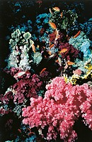 Zoology - Cnidaria - Anthozoa - Coral and group of fishes in Red Sea.