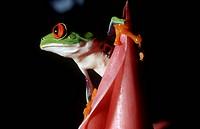 Zoology - Amphibians - Red-eyed tree frog (Agalychnis callidryas).