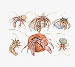 Zoology - Crustacea - Decapoda - Variety of The Blade (pagurus). Drawing.