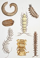 Zoology - Myriapods - Medium group of Symphylans, Pauropods, Millipedes, illustration