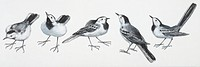 Zoology - Birds - Passeriformes - White Wagtail (Motacilla alba), illustration
