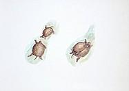 Zoology - Reptiles - Chelidae - Western Swamp Tortoise (Pseudemydura umbrina), illustration
