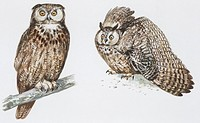 Zoology - Birds - Strigiformes - Long-eared Owl (Asio otus), illustration