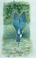 Zoology - Birds - Coraciiformes - Common Kingfisher (Alcedo atthis) plunging with wings along body to chatch prey underwater, illustration