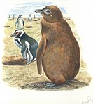 Young Magellanic Penguin (Spheniscus magellanicus), illustration.