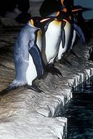 Zoology - Birds - Sphenisciformes - King penguin (Aptenodytes patagonicus).