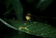 Zoology - Insects - Odonates. Commonly known as dragonflies, Odonates are middle and large-sized insects, excellent flyers in adult stage, sometimes s...