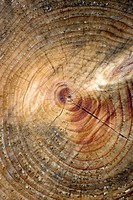 Cross section of tree with annual rings