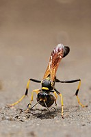 Black and yellow Mud Dauber (Sceliphron caementarium), female collecting mud for nest, Comal County, Hill Country, Central Texas, USA, America
