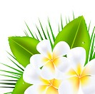 3 Beautiful Frangipani, Isolated On White Background, Vector Illustration With Gradient Mesh